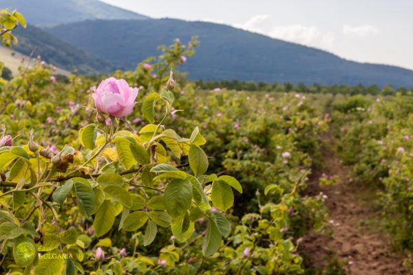 The Rose Festival Tours